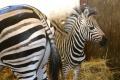 V košickej zoo sa narodilo mláďa zebry, po dvojročnej pauze
