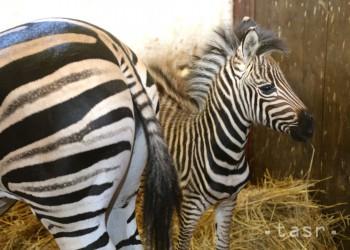 V košickej zoo sa aj počas zimy rodia mláďatá