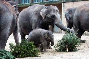 Slony v berlínskej zoo si pochutnali na vianočných stromčekoch