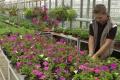 Aj na slovenskom trhu sa objavili geneticky modifikované petúnie