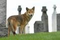 FOTOGRAFIE: Kojot na cintoríne v New Yorku