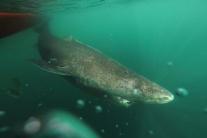 Samica grónskeho žraloka sa dožila rekordných 400 rokov