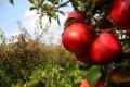 Počas Dňa jabĺk zdôrazňujú odborníci bohatstvo odrôd tohto ovocia