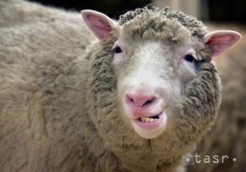 Pred 20 rokmi vyklonovali v Edinburghu transgénnu ovcu
