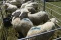 Ak Británia odíde z EÚ bez dohody, poškodí to chovateľov oviec