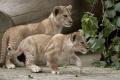 Nemecká zoo predstavila päť vzácnych mláďať leva berberského