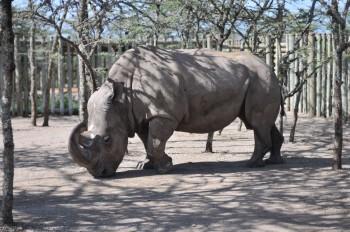 Keňa: Uhynul posledný samec nosorožca tuponosého severného