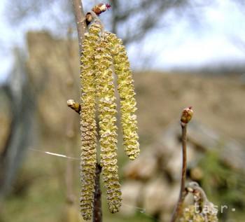 Koncentrácie peľu bylín i drevín v ovzduší boli počas týždňa nízke