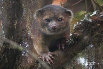 Nový druh cicacavca olinguito je zmesou mačky domácej a medvedíka