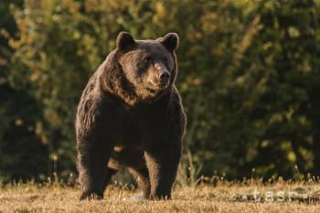 J. Šíbl: Slovensko si vychovalo populáciu synantropných medveďov