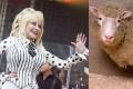 Ovcu Dolly pred 20 rokmi nazvali po country hviezde s bujným poprsím