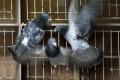 Premnožené holuby poškodzujú budovy v Rimavskej Sobote