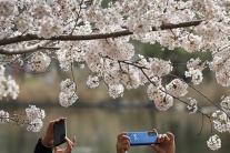Kvitnúce stromy čerešní