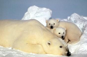 Ľadová medvedica Cora porodila v Brne dvojčatá