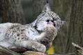 Držba vybraných druhov mačkovitých šeliem by sa mala zakázať