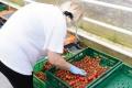 Slováci uprednostňujú na pultoch domáce rajčiny. Patríte medzi nich?