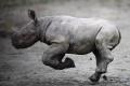 Česká ZOO je európskou raritou, chovajú v nej najviac nosorožcov