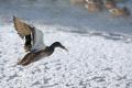 Mŕtva divá kačica v Rimavskej Sobote bola nakazená vtáčou chrípkou