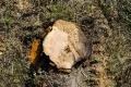V Trnave vyrúbali stromy, občania si chcú ustriehnuť náhradnú výsadbu