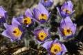 Prírodnú rezerváciu Primovské skaly zdobia stovky rastlín poniklecov