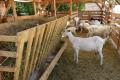 V Tvarožnej ukradol neznámy páchateľ štyri kozy