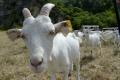 Počet hospodárskych zvierat sa znižuje