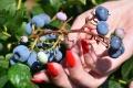 Pozor na kúpu tatranských čučoriedok, niektoré môžu byť jedovaté