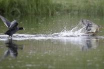 Hlucháň je totiž robustný vták, váži takmer päť kilogramov a lietanie nepatrí medzi jeho silné.