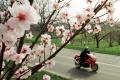 Anketu Európsky strom roka vyhral mandľovník z Maďarska