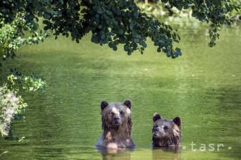 Medvede hnedé sa kúpajú vo svojom výbehu 8. augusta 2018 v nemeckom Poingu.
