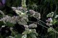 Peľová sezóna tráv z čeľade lipnicovitých aj naďalej ustupuje