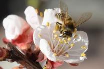 kvet, včielka