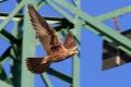 Bez pomoci by neprežili, ľudia chránia vtáky aj pred nárazmi do vedení