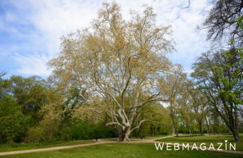 V ankete Európsky strom roka súťaží aj slovenský prastarý dub z Drnavy