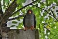 Na Slovensko sa vracia z Afriky sokol červenonohý