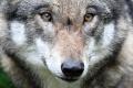 Europoslanci sa pre kvótu na lov vlka obrátili na Európsku komisiu