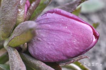 Čemerica purpurová, jeden z fialových symbolov Polonín, už kvitne