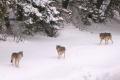 Chovatelia stád, ktorých poškodia vlci, dostanú plnú náhradu škody